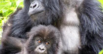 Mountain Gorillas of Rwanda Experience - Independent